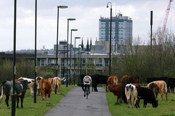 Cows on Newcastle town moor